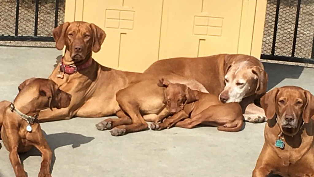 Group of Vizslas