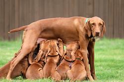 Mom nursing puppies!