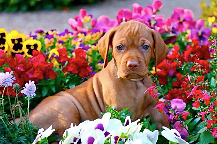 Vizsla puppy sitting in flowers