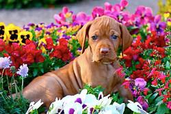 Vizsla puppy sitting in flowers