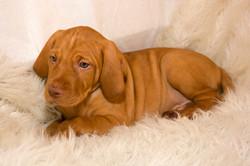 Dallas Vizsla puppy