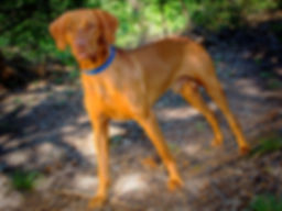 Dallas Vizslas Stud Harley Rocket