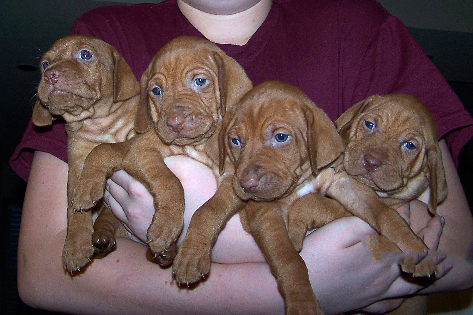 4 Dallas Vizsla pups in arms