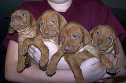 4 Dallas Vizsla pups in arms