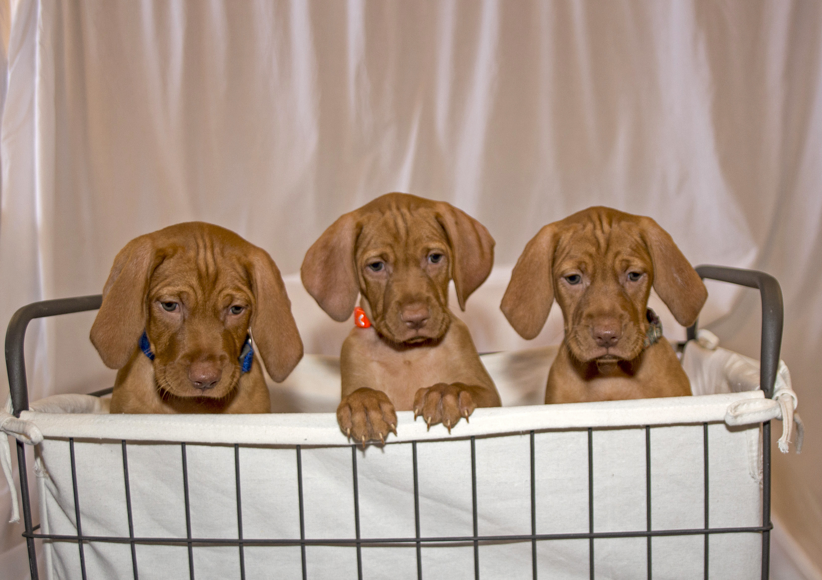 3 Vizsla puppies in basket