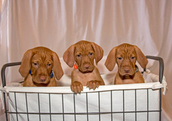 3 Vizsla puppies in basket