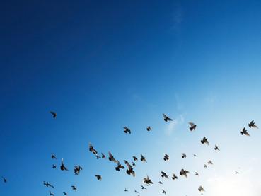Pássaros nas plantações suíças