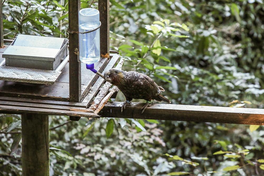 Kaka (New Zealand Parrot)
