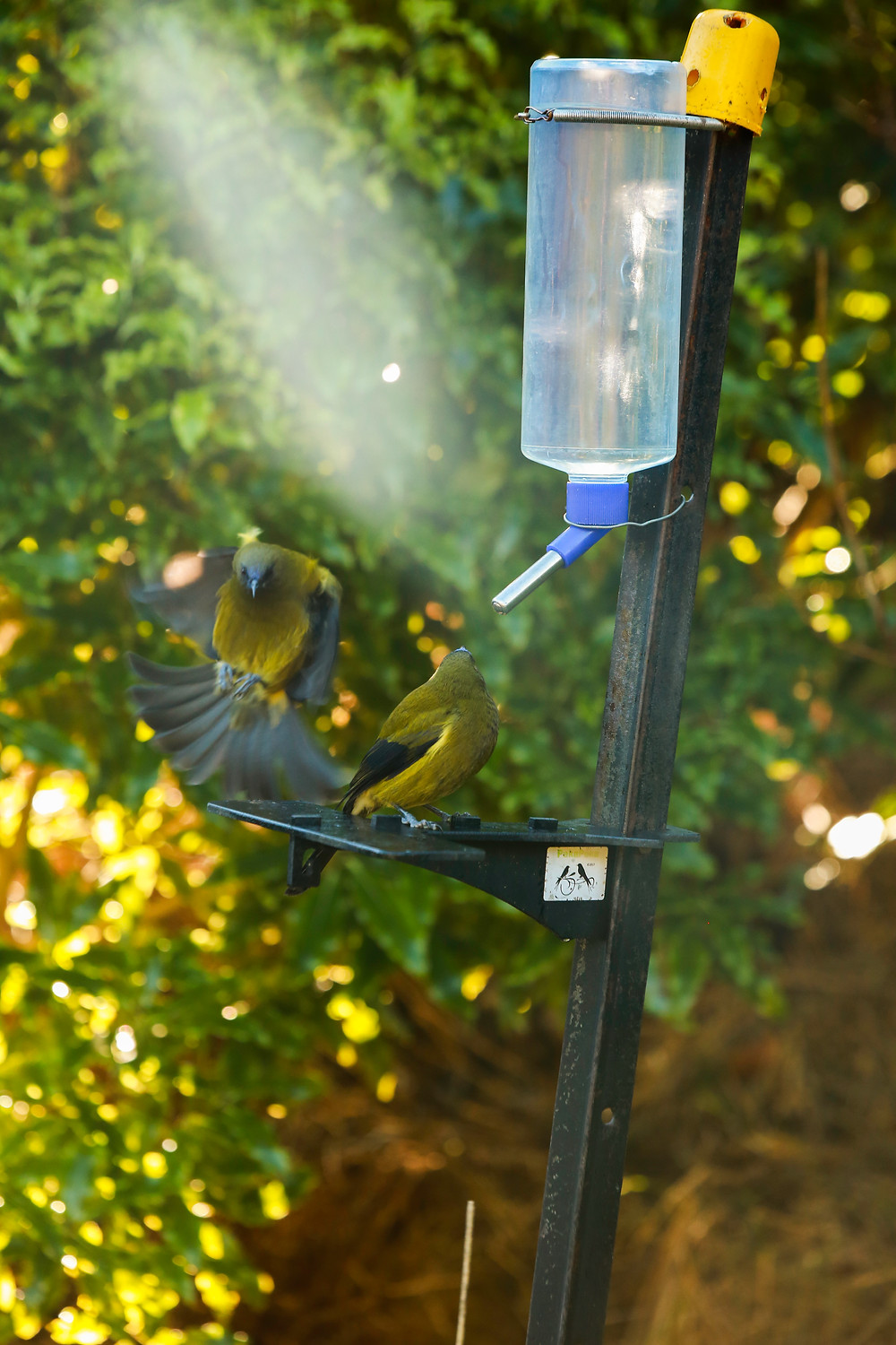 Bellbirds in action at the Peka Peka Feeder
