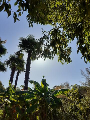 Palmiers du parc Jouvet