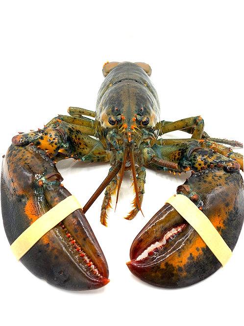 Keahole Lobster - KCL (Whole, Live)