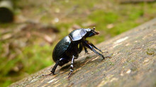 Celebrating Dung Beetles: unsung heroes in livestock production