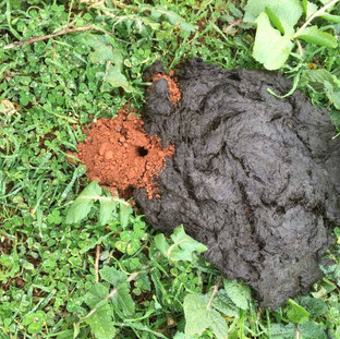 Dung beetle pile
