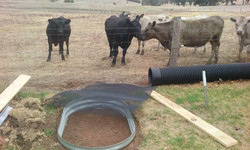 12 Curious cows Bed 2