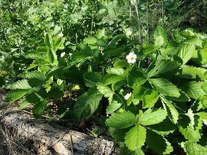 Skovjordbær. Spiselig skovhave. Permakultur
