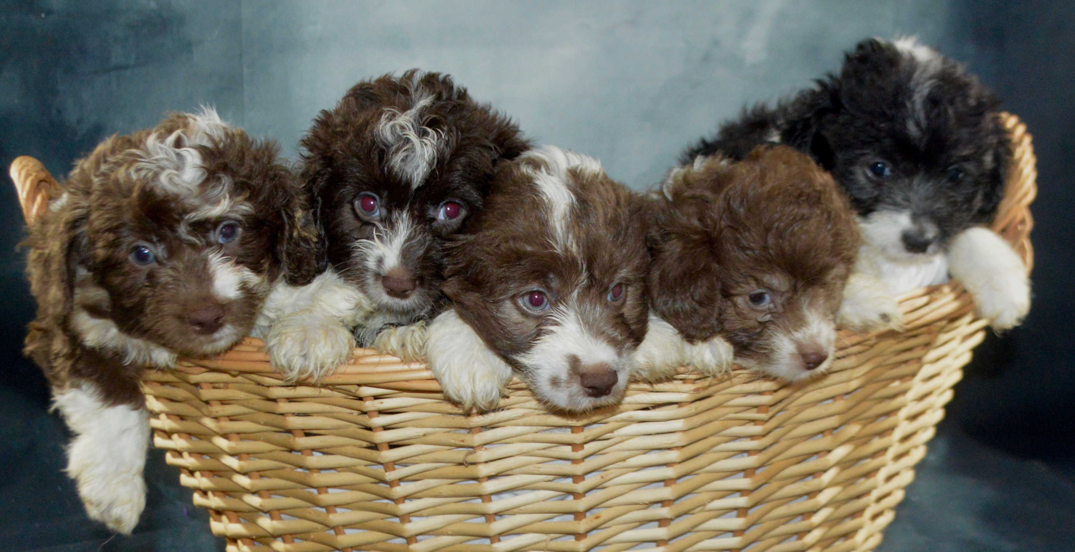 Buy Puppies | Co Rd 2321 | K9 Wonderland