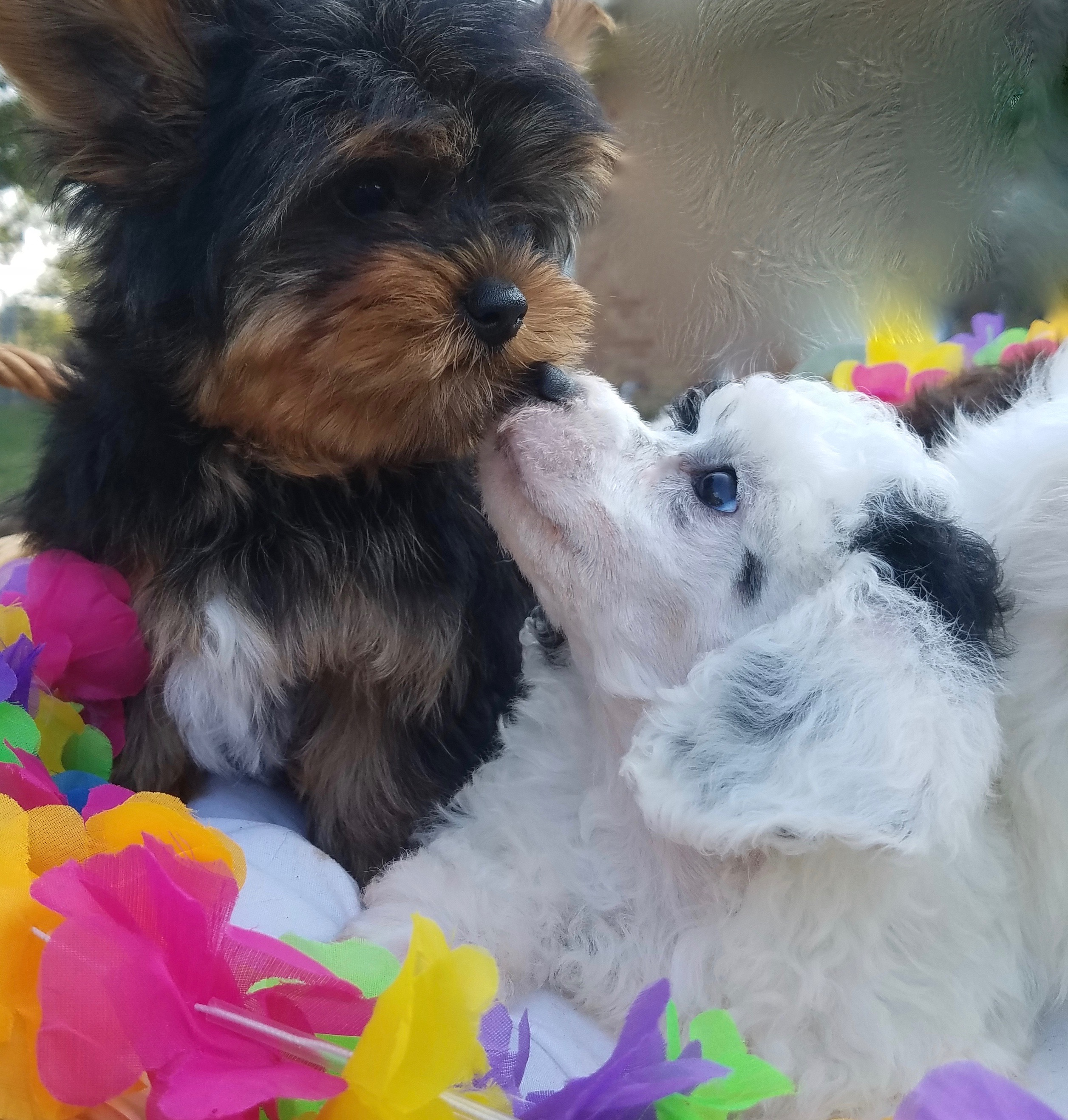 Buy Puppies   Co Rd 2321   K9 Wonderland