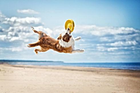 Border Collie plays in the beach.jpg