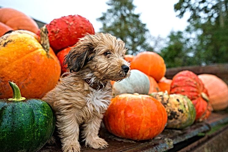 Pumpkin harvest in autumn or fall. Cute,