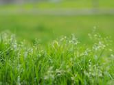 Græsstrå