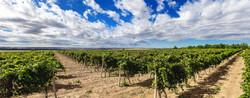 vineyard -2