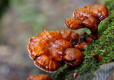 linhzhi-ganoderma-lucidum_mushroomsworld