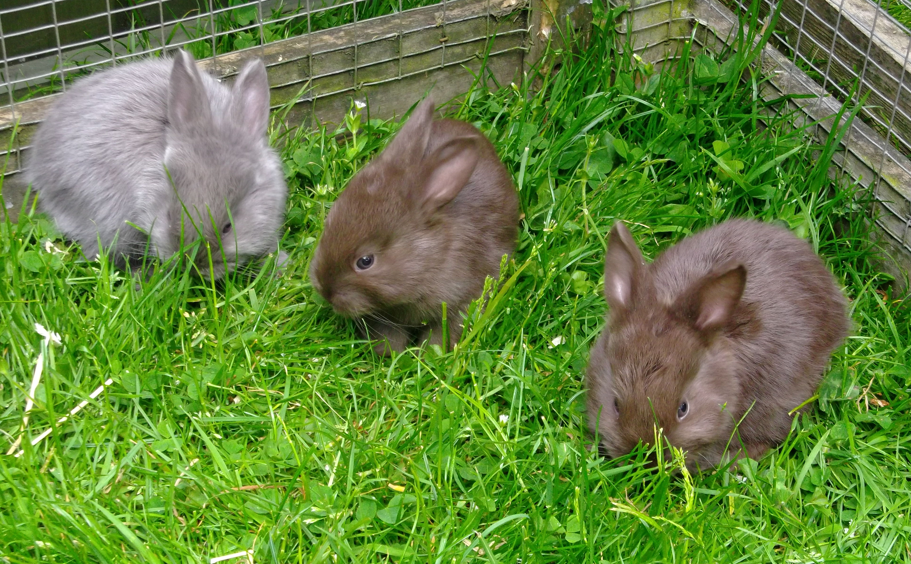 Chocolate and Lilac litter.jpg
