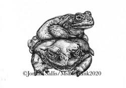 Colorado River Toads