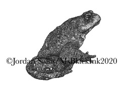 Asiatic Toad - Side