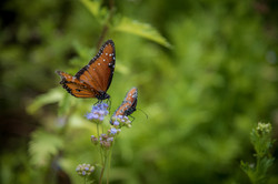 Butterflies at Old Tunnel State Park