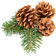 pine cone.png