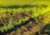 rows corn growing