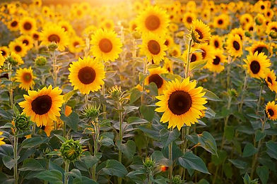 sunset sunflower.jpg