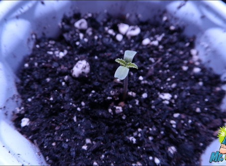 Growing Cannabis In Soil vs Hydroponics!