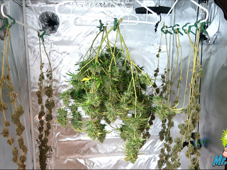 How To Dry and Cure Cannabis Plants!
