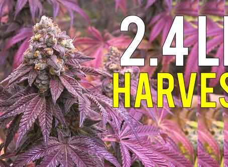 2.4 LB Cannabis Harvest Growing Indoors