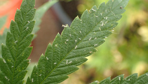 Aphids on Cannabis Plants