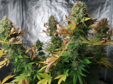 When To Harvest Your Cannabis Plant