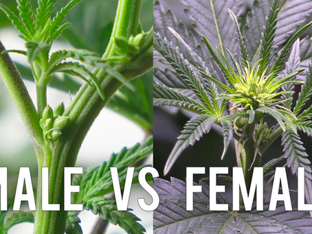 Sexing Your Cannabis Plant! - Male vs Female