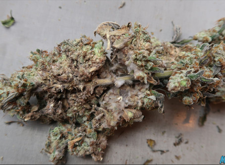 Bud Rot in Cannabis Plants