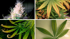 Light Burn & Light Stress in Cannabis Plants