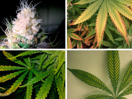 Light Burn & Light Stress in Cannabis Plants
