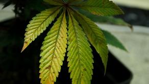 Manganese Deficiency in Cannabis Plants