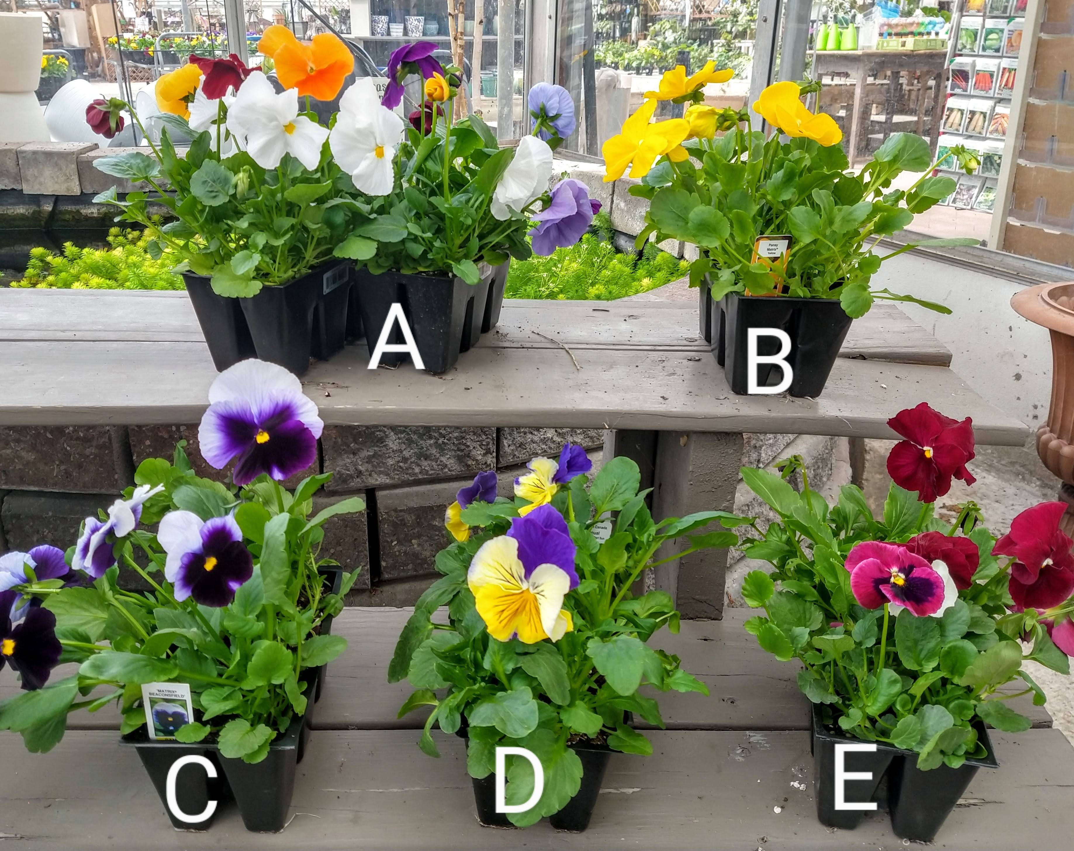 6-Pack Pansies $2.99
