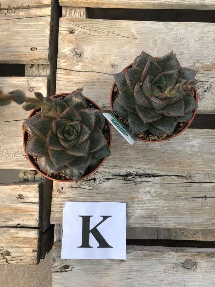Succulents, K - $5.99