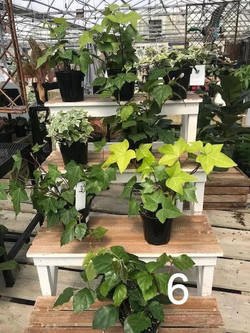 English or Grape Ivy