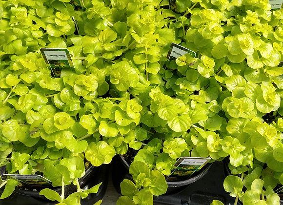 """Foliage Annuals, 4"""""""