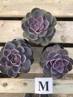 Succulents, M - $5.99