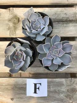 Succulents, F - $5.99