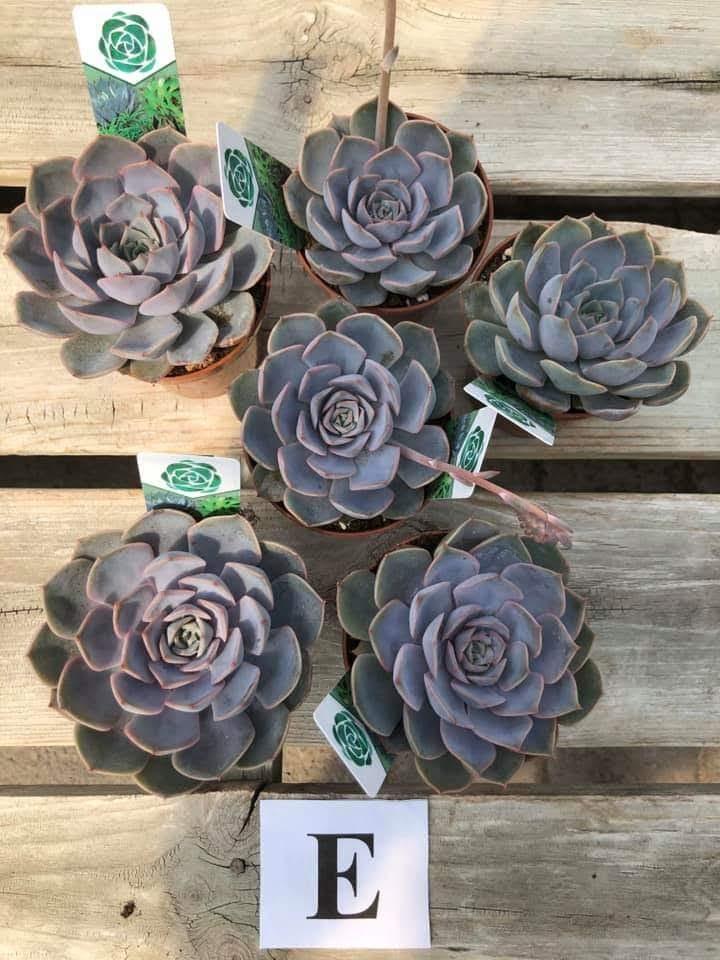 Succulents, E - $5.99